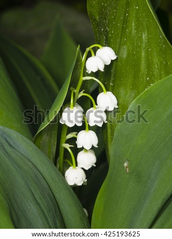 Blooming Lily-of-the-valley, Convallaria majalis, flowers and leaves, macro, selective focus, shallow DOF - stock photo