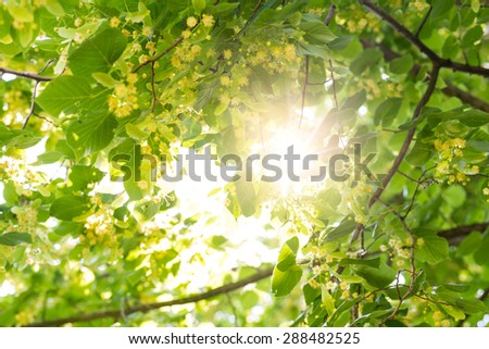 Blooming linden, lime tree in bloom with bees and sunflare - stock photo