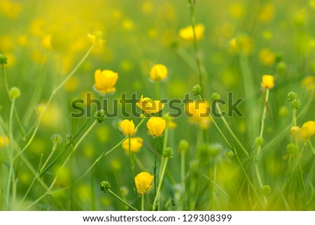 Blooming little yellow meadow flower in April and May - stock photo