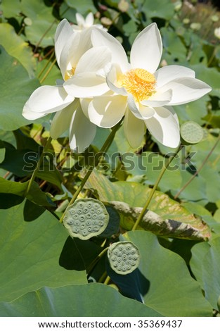 Blooming lotus and its seed pods - stock photo