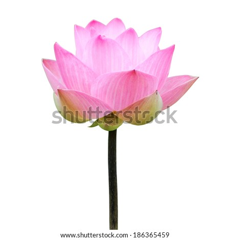 Blooming lotus flower in the farm, Thailand. - stock photo