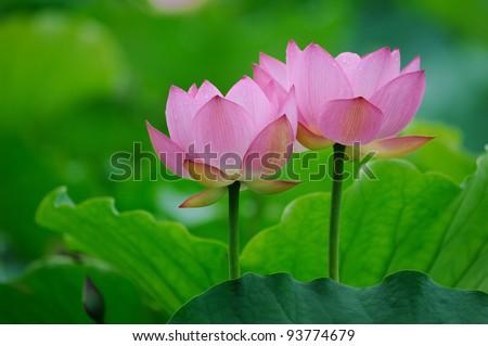 blooming lotus flower over dark background - stock photo