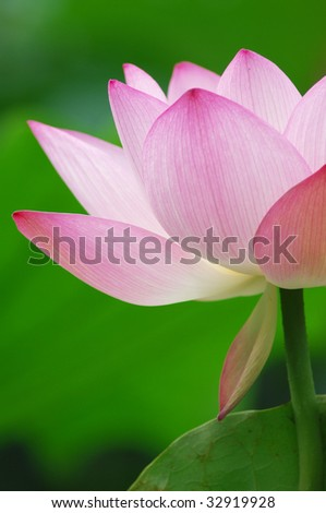 blooming lotus flower over green background. - stock photo