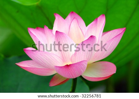 blooming lotus flower over green background.See more lotus in my portfolio - stock photo