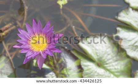 Blooming Lotus Flower, Purple Lotus Flower, Nelumbo Nucifera, or Nelumbo in Lotus Pond with Bees Flying and Bee Swarm with Blooming Petals for background texture and Background Design - stock photo