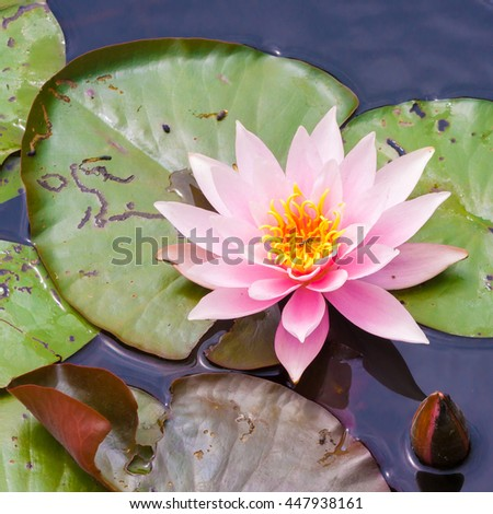 Blooming lotus flower (waterlily) in a pond, Hillegom, Holland - stock photo