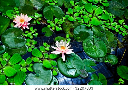 Blooming lotuses in habitat with fresh green leaves.