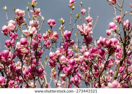 blooming magnolia - stock photo