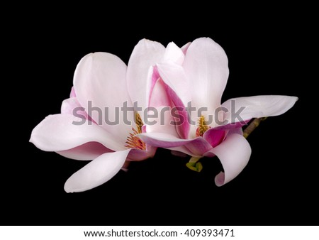 Blooming magnolia  flowers isolated on black background - stock photo