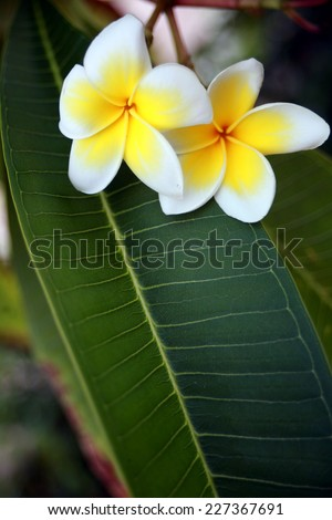 blooming magnolia in the garden   - stock photo