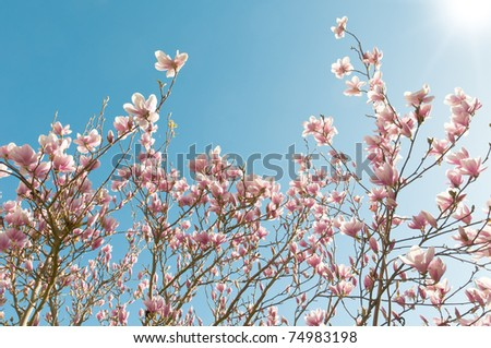 Blooming Magnolia tree in spring - stock photo