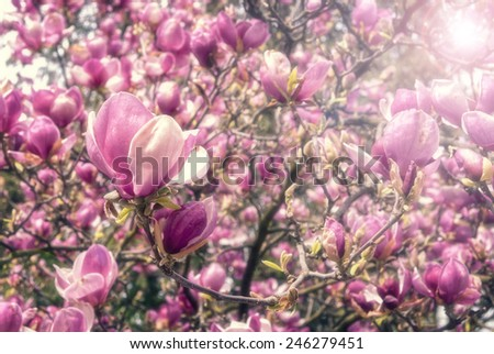 Blooming magnolias in spring with soft focus and lens flare - stock photo