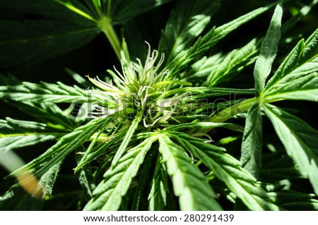 Blooming Marijuana plant with early white Flowers - stock photo