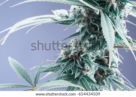 trichomes stock images  royalty free images   vectors trichome thc microscope trichomes thc content