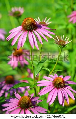 Blooming medicinal herb echinacea purpurea against green background - stock photo