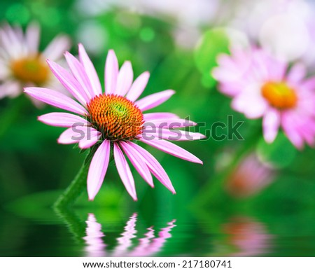 Blooming medicinal herb echinacea purpurea or coneflower and water reflection, selective focus - stock photo