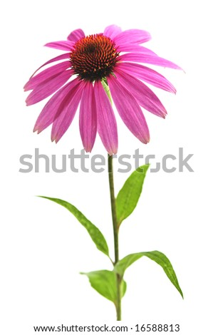 Blooming medicinal herb echinacea purpurea or coneflower isolated on white background