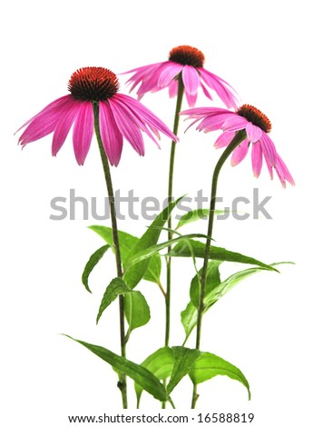 Blooming medicinal herb echinacea purpurea or coneflower isolated on white background - stock photo