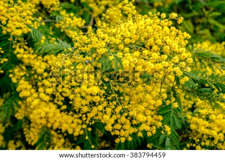 Blooming mimosa tree bunch over blue sky. Mimosa Spring Flowers Easter background. Shallow depth of field. - stock photo