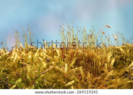 blooming moss in the forest. Macro. Fresh moss sprouts and blooms - stock photo