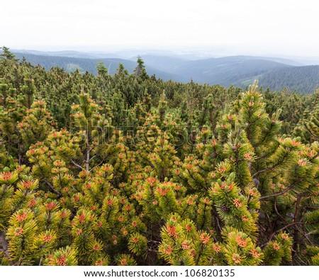Blooming mountain pines (Czech Republic, Europe) - stock photo