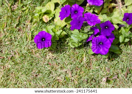 Blooming multicoloured petunias - stock photo