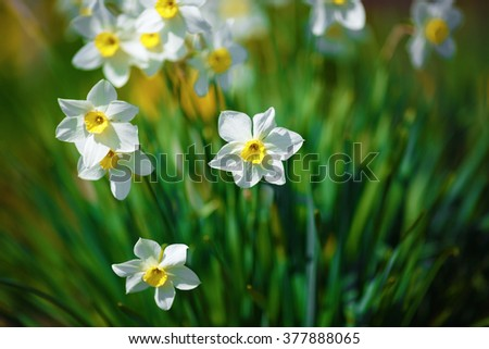 Blooming narcissus. Flowering white daffodils at springtime. Spring flowers. Shallow depth of field. Selective focus. - stock photo
