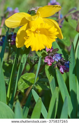 Blooming Narcissus in the garden close-up. - stock photo