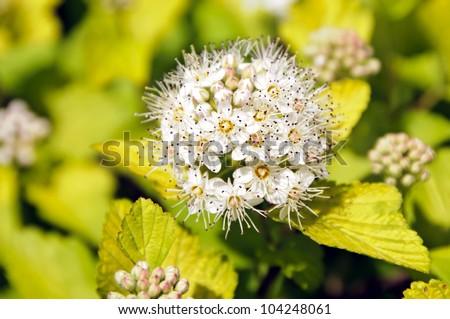 Blooming Ninebark - stock photo