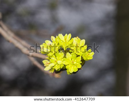 Blooming Norway Maple, Acer platanoides, flowers with blurred background macro, selective focus, shallow DOF - stock photo