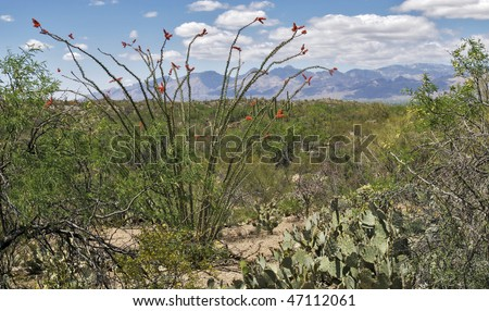 Blooming Ocotillo with Santa Catalina Mountains in background. - stock photo