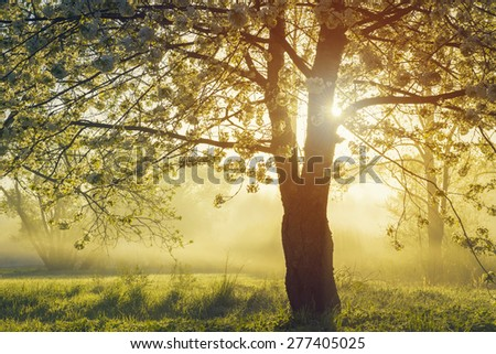 Blooming of cherry tree over foggy sunrise - stock photo