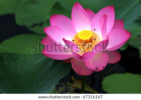 Blooming of lotus flower with the background of green leaves - stock photo