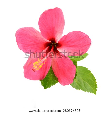 Blooming of pink Hibiscus flower isolated on a white background  - stock photo