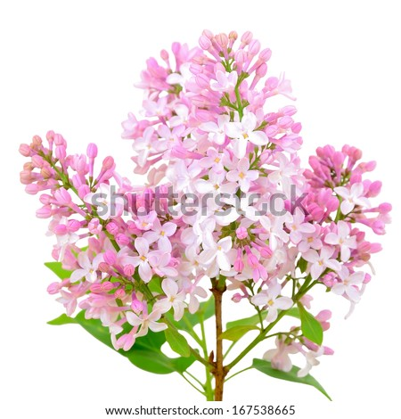 Blooming of pink lilac (Syringa) isolated on white background - stock photo