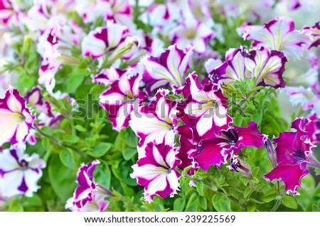 Blooming of purple and white petunia flowers outdoor, selective focus - stock photo