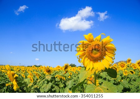 Blooming of sunflower field with blue sky and clouds