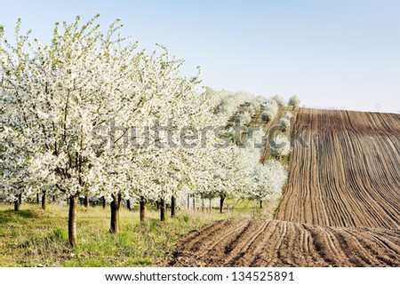 blooming orchard in spring with a field, Czech Republic - stock photo