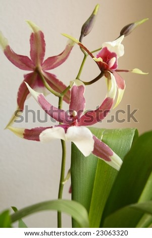 Blooming orchid - stock photo