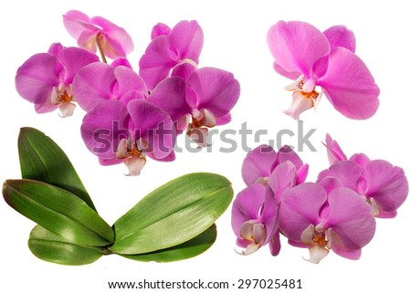 Blooming Orchid. Collage. Isolated. With leaves - stock photo