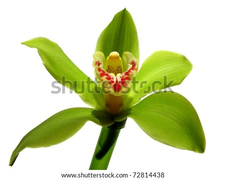 Blooming Orchid Cymbidium Sessa Green Beauty, family Orchidaceae