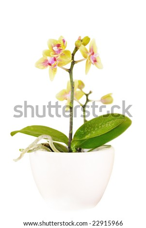 Blooming orchid in a pot isolated on white backdrop - stock photo