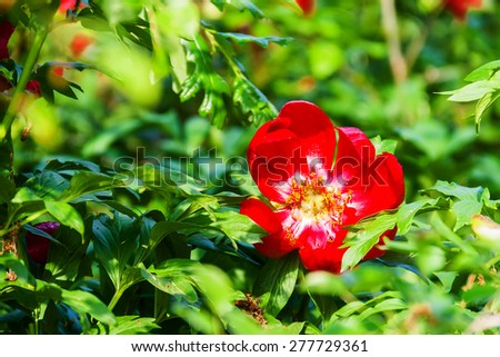 Blooming paeonia peregrina covered in sunlight  - stock photo