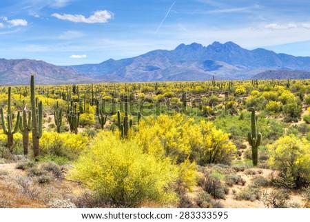 Blooming Palo Verdes and Saguaros at Four Peaks foot hills near Phoenix, Arizona. - stock photo