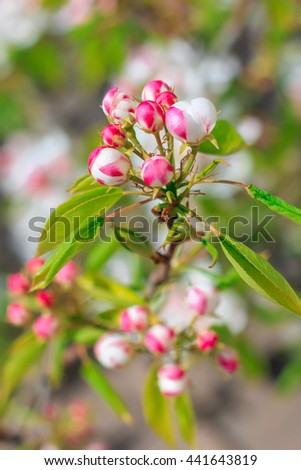Blooming pear tree with flowers and buds on branches closeup, blurry background - stock photo