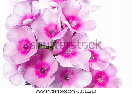 Blooming Phlox paniculata flowers, shot with large Depth of Field (DOF) - stock photo