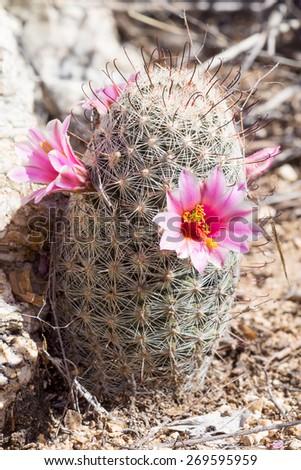 Blooming  Pincushion Cactus (Mammillaria).  Saguaro National Park, Arizona, USA - stock photo
