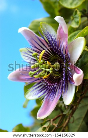 Blooming pink and white Passion Flower - stock photo