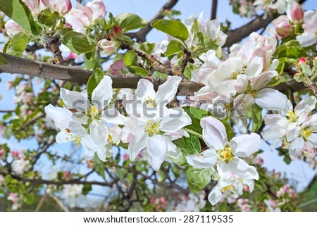 Blooming pink apple tree.  The quality of medium format - stock photo