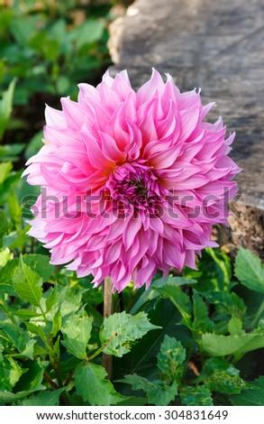 Blooming pink dahlia flower in garden. - stock photo